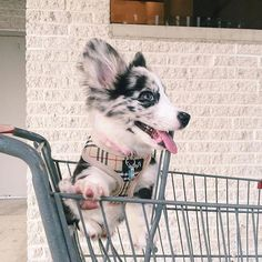 Push me faster peasants Cardigan Welsh Corgi Puppies, Corgi Mix, Kittens And Puppies, Baby Puppies, Animals And Pets, Baby Animals, Corgi Cross, Herding Dogs, Cute Little Animals