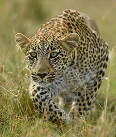 A Young Leopard Practicing its Hunting Skills.