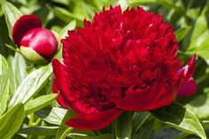 Peony varieties with huge, double flowers will be the focal point of the garden when they bloom in early summer. Single-flowered types are Red Peonies, Red Roses, Peony Flower, Dahlia, Peonies Garden, Flower Delivery, How To Do Yoga, Horticulture, Gardening Tips