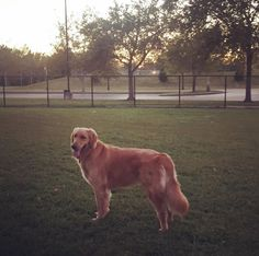 Enjoying a day out at Dusable Dog Park! - St. Charles, MO - Angus Off-Leash #dogs #puppies #cutedogs #bigdogs #stcharles #missouri #angusoffleash #dogparks