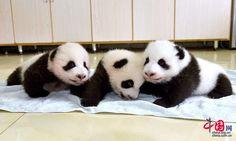 Panda cubs on display in Sichuan- China.org.cn