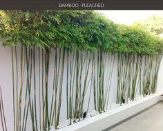 Centerpointe Communicator: Bamboo privacy hedge, Part 2: Pleachy keen