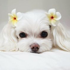 White puppy with Hawaiian flowers. If you love hair accessories for pups like this, check out http://www.chic-dog-boutique.com/Dog_Hair_Bows_s/1897.htm