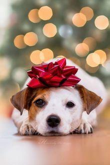 Милый щенок с бантиком на мордашке лежит на полу, боке фон
