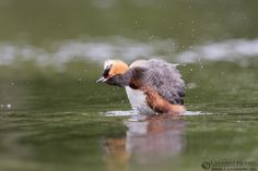 """Slavonian Grebe a second time"" - ( http://www.lensman.se/slavonian-grebe-second-time/ ) has been published on Lensman - Lennart Hessel Photography"