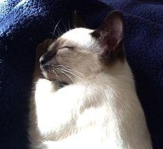 Sleeping Siamese. .Eva the silky seal point kitten