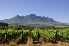 South African Wines Find Their Place in the Sun #SouthAfrica #wine #winemaking