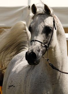 #ArabianHorses #beauty #grey