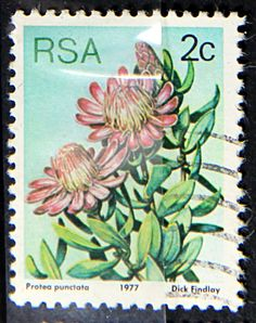 Issued of May Protea Punctata. Scott 476 Issued 1977 May Lithogravured, Perf. 12 Republic of South Africa