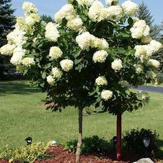 hydrangea garden care Limelight Hydrangea trees have a single trunk that lead up to a rounded canopy of lush green leaves and huge clusters of white and green tinted flowers that bloom for months. Hydrangea Tree, Limelight Hydrangea, Hydrangea Garden, Hydrangeas, Hydrangea Paniculata, Dwarf Hydrangea, Growing Hydrangea, House Landscape, Landscape Design
