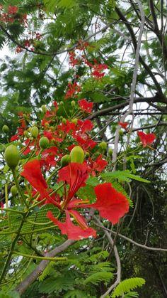 Flowers of a flamboyant tree or Royal Poinciana (Delonix Regia) in Trinidad, W. Delonix Regia, Flamboyant, Flower Pictures, Trinidad, Armchair, Nature, Books, Flowers, Plants