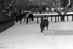 Secretariat appears to be enjoying retirement from racing on November, 1973 at Claiborne Farms in Paris, Kentucky. Secretariat won the horse racing Triple Crown (Kentucky Derby, Preakness Stakes, Belmont Stakes) in 1973 and set a track record of 1:59 2/5 for the 1 1/4 mile Kentucky Derby. Secretariat also ran each quarter mile of the Kentucky Derby faster than the previous one, meaning he was still accelerating as he finished.
