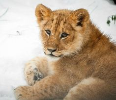 It's a snow day for Zoo Antwerp's Lion Cub!  See his playful pictures today on zooborns.com