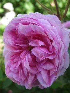 Diese Hundertblättrige Rose in unserem Rosengarten findet man häufig auf Bildern von flämischen Malern des 17. und 18. Jahrhundert. Dunkle, rosafarbene Knospen öffnen sich zu großen, hell rosafarbe...