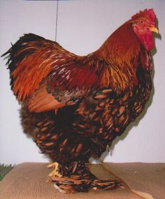 Golden Laced Cochin Chicken Rooster