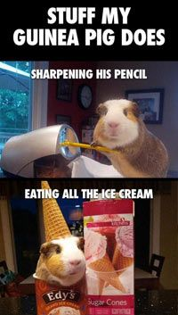 Stuff my guinea pig does… I did this as a child lol with Gus