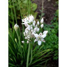 Garlic flower seeds