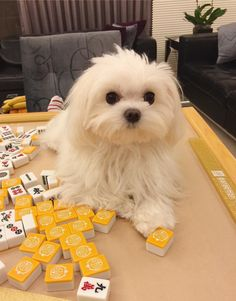 Things I love about the Cheerful Havanese Dogs Havanese Puppies, Teacup Puppies, Maltipoo, Cute Puppies, Cute Dogs, Dogs And Puppies, Doggies, Fluffy Puppies, Maltese Poodle