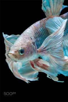 Do you have an interest in freshwater ornamental fish? What kind of ornamental fishes that you have? Well, as an ornamental freshwater fish lovers, I'm sure that you were familiar with Betta fish. Pretty Fish, Beautiful Fish, Beautiful Pictures, Freshwater Aquarium, Aquarium Fish, Fish Fin, Betta Fish Types, Fish Wallpaper, Siamese Fighting Fish