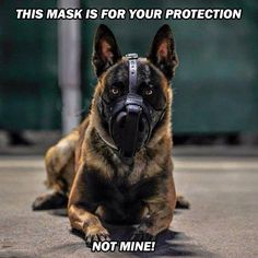 This mask is for your protection, not mine. Police K9 with oxogen mask                                                                                                                                                                                 More