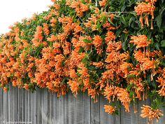 Trepadeiras. Cipó de São João ou flor de São João (Pyrostegia venusta), em Hahei,  península de Coromandel, na região de Waikato da Nova Zelândia.  Fotografia: Fotógrafo: Susan.