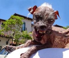 The World Ugliest Dog Contest Ugly Animals, Scary Animals, Animals And Pets, Cute Animals, Ugliest Animals, Dangerous Animals, World Ugliest Dog, Ugliest Dog Contest, Cute Puppies