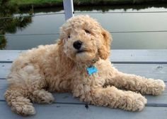 This is my perfect dog - a cockerpoo!! fluffy cute and hypoallergenic!!! i wish to have one :)
