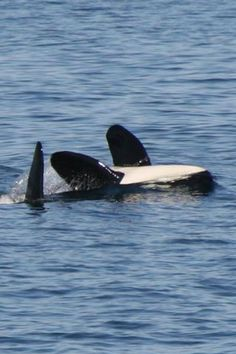 Killer whale doing the backstroke. Monterey Bay June 2013