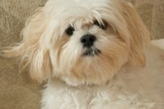 Lhasa apso.. This looks like my Macy Mae:) Love her:)