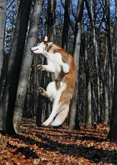 """Find out more relevant information on """"Siberian husky puppies"""". Check out our web site. Wolf Husky, Cute Husky, My Husky, Fluffy Husky, Siberian Husky Facts, Siberian Husky Puppies, Siberian Huskies, Huskies Puppies, Animals"""
