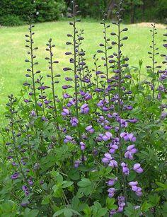 Baptisia australis (Blue Wild Indigo / Blue False Indigo plant) - said to be deer proof - but not in my garden! Wild Indigo, Bleu Indigo, Hardy Perennials, Flowers Perennials, Love Garden, Dream Garden, Shade Garden, Baptisia Australis, Landscaping