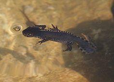 Molch – Wikipedia #newt