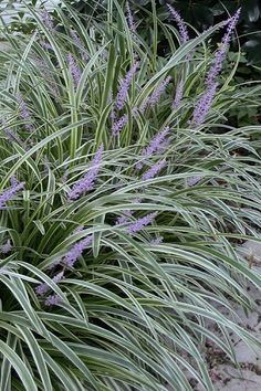 Landscaping Silvery Sunproof Liriope - Lilyturf - 18 Count Flat von 4 The Air Mattress of the Future Zone 4 Perennials, Part Shade Perennials, Best Perennials, Shade Plants, Cool Plants, Ornamental Grasses For Shade, Ornamental Grass Landscape, Perennial Grasses, Perennial Gardens