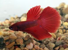 #4C1A is a #HM #Delta Red #BSE #Betta. $25 shipped to the continental US. Message us to get him today.