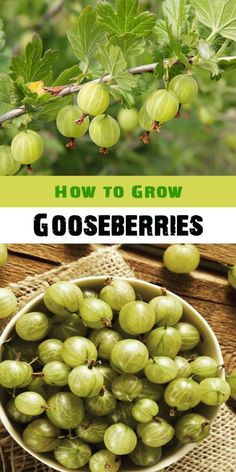Gooseberries are an easy-to-grow soft fruit and they can thrive in many kinds of soil, although they really like a sunny site. They can be grown as bushes or be trained against a wall to take up le…