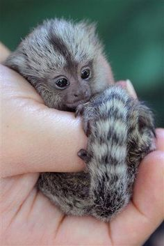 Marmosets' tails are roughly twice as long as their bodies.  #cuteanimals #babyanimals