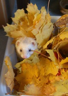 Ferret enrichment with fall leaves