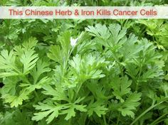Cancer Research Shows Chinese Herb & Iron Kills Of Cancer Cells In 16 Hours Cancer Fighting Foods, Cancer Cure, Cancer Cells, Health And Nutrition, Health And Wellness, Health And Beauty, Healing Herbs, Medicinal Plants, Natural Medicine