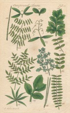 INSPIRATION!! COMPOUND LEAVES, Plate 30 Illustration by John Miller Botanical Studies from 1789 Poster print. Featured plants: Horsetail, Mimosa, Buttercup, Everlasting Pea, Rue, Chaste Tree, Scotch Fir, Yellow Nicker-Tree, Canada Nicker-Tree., http://www.amazon.com/dp/B004V4GXL6/ref=cm_sw_r_pi_awdm_eBf7tb113BRVS