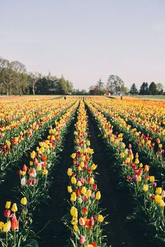 Gal Meets Glam - 2016 April 21 - Thomas Takeover: Quick Trip to Oregon - Wooden Shoe Tulip Festival Beautiful World, Beautiful Places, Tulip Festival, Tulip Fields, Flower Farm, Adventure Is Out There, Mother Nature, Planting Flowers, Beautiful Flowers