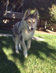 Australian shepherd/Husky mix. Follow her on instagram @kaia_the_ausky !!