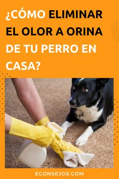 Did your pet pee indoors? Learn how to remove dog urine odor from the floor - How to Eliminate the Smell of Dog Urine - Dog Urine, Urine Odor, Shih Tzu Puppy, Shih Tzus, Dog Agility, Dog Training Tips, Dog Accessories, Happy Dogs, Dog Care