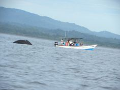Whale Watching with Nicuesa Lodge! You will not believe it, it's an unforgettable experience. Do not forget you camera.    #Wildlife #seascape #sea #Beach #CostaRica #Accommodations #Relax #Comfort #Travel #Travelers #Family