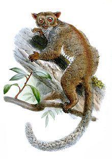 southern needle-clawed bushbaby | Needle-clawed bushbaby Primates, Mammals, Wikipedia Images, Slow Loris, Forest Habitat, Habitat Destruction, Middle Parts, Superfamily, Lemur