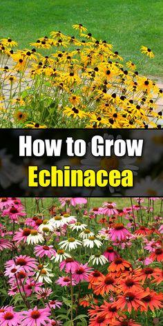 How to Grow Echinacea - Easy Balcony Gardening Herb Garden, Garden Beds, Garden Plants, Garden Soil, Gardening For Beginners, Gardening Tips, Balcony Gardening, Container Gardening, Pallet Gardening
