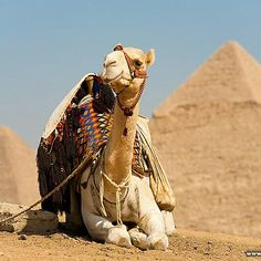"See 2560 photos from 9904 visitors about camel, cairo, and great pyramid of cheops. ""The pyramids don't look that far from the road, but they're. Camelo Bactriano, Egypt Makeup, Navy Day, Great Pyramid Of Giza, Visit Egypt, Pyramids Of Giza, Beauty Around The World, Cairo Egypt, Arabian Nights"