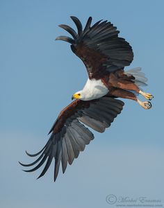 Types of Eagles in The World - Eagles are admired the world over as living symbols of power, freedom, and transcendence. There are more than 60 different species of Eagles. Pretty Birds, Beautiful Birds, Animals Beautiful, Aigle Animal, Types Of Eagles, South African Birds, Animals And Pets, Cute Animals, Eagle Pictures