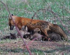 Red fox with her kits
