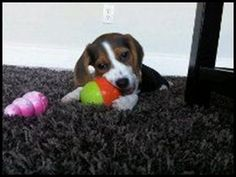 Cut dog gnaws on a ball (via Puppytoob.com)