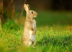 Image result for rabbit wild